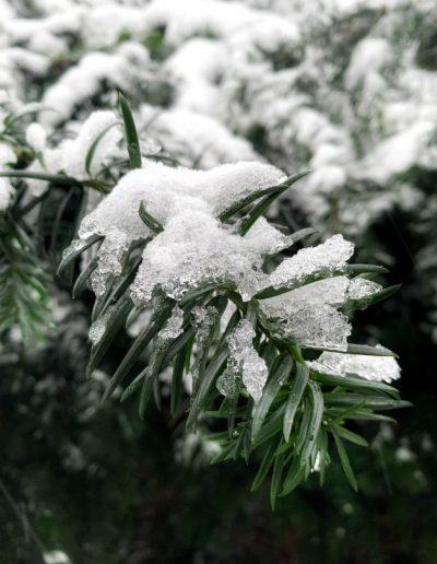 sneeuw op tak