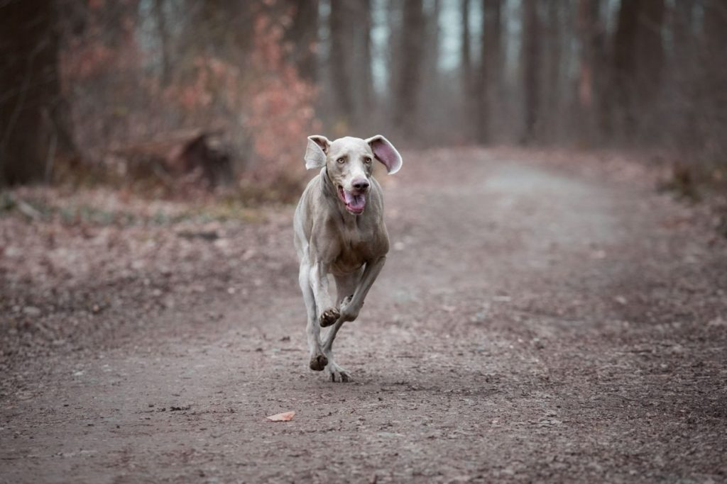foto rennende hond