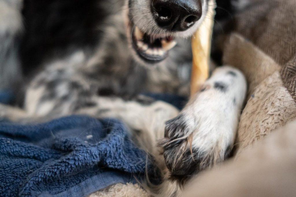 kauwende hond