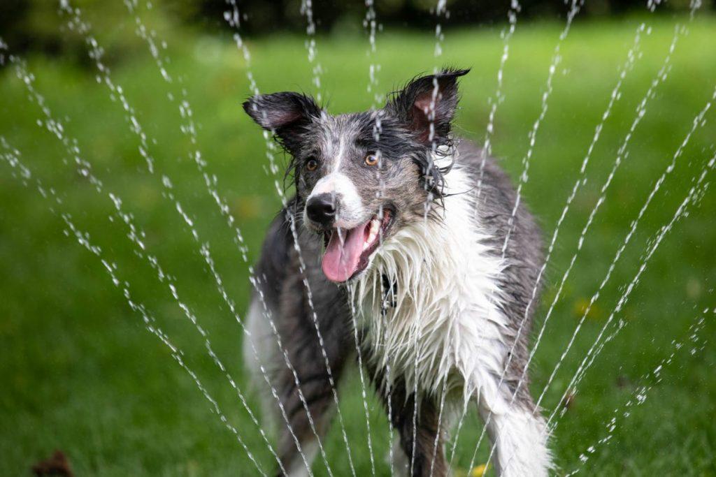 hond spelend met water