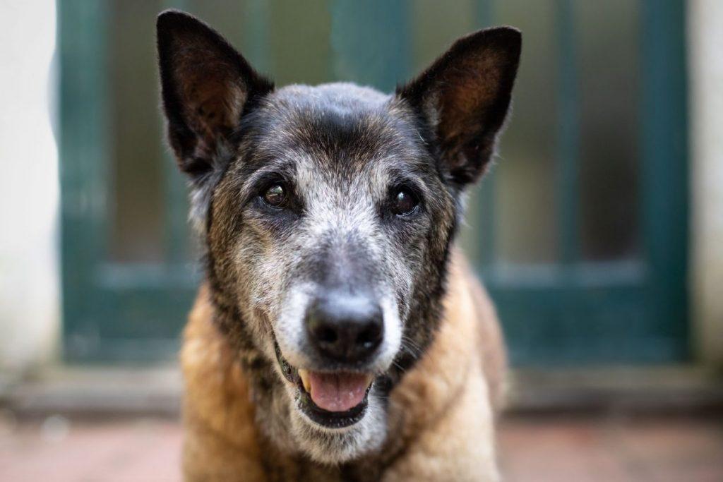 portret senior hond